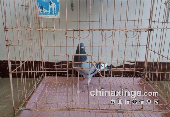 随着云南雨季的一步步逼近,潮湿的鸽舍环境和疾病也将如约而至.